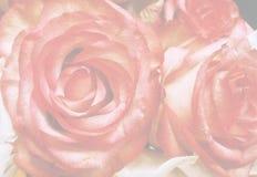Stor genomskinlig bakgrund för röda rosor Royaltyfri Foto