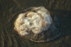 Stor genomskinlig hal manet som ligger på den satte på land stranden Royaltyfri Bild