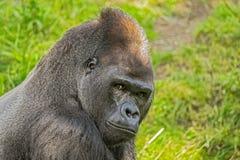 Stor gorilla för västra lågland Royaltyfri Fotografi