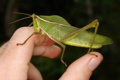 Stor gräshoppa på min hand Royaltyfri Bild