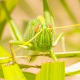 Stor gräshoppa som äter gräs royaltyfri foto