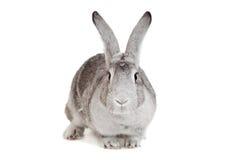 Stor grå färgkanin på en vit Arkivfoton