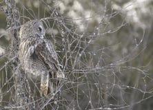 Stor grå färgOwl Arkivfoton