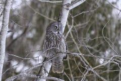 Stor grå färgOwl Royaltyfria Foton