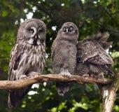 Stor grå färgOwl Fotografering för Bildbyråer