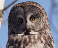 Stor grå färgOwl royaltyfri fotografi