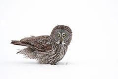 Stor grå färgOwl Royaltyfri Bild