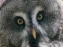 Stor grå färgOwl Arkivbilder
