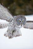 Stor grå färgowl i flyg royaltyfria foton