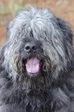 Stor grå fluffig sjaskig gammal engelsk brudgum för behov för hund för fårhundNewfie typ royaltyfri foto