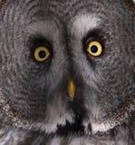 stor grå owl Royaltyfri Bild