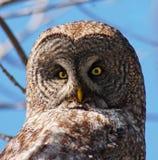 stor grå owl Arkivfoto