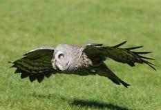 stor grå owl Arkivbild