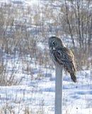 stor grå owl Arkivfoton
