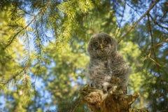 stor grå owl för fågelunge Arkivbilder