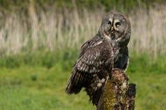 stor grå owlstående Royaltyfri Foto