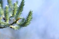 Stor grå pil för grå pil, grå sälg, Salix cinerea för ÑŒÐ-½ Ð°Ñ för ¿ ÐΜÐ ¿ Ра ² ИРÐΜД  Royaltyfria Bilder