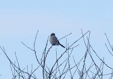 stor grå shrike Royaltyfri Fotografi