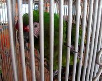 Stor grön ara i en bur Arkivfoton