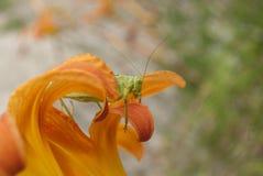 Stor grön Bush-syrsa (den Tettigonia viridissimaen)  Fotografering för Bildbyråer