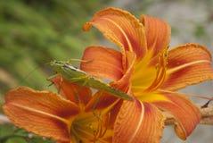 Stor grön Bush-syrsa (den Tettigonia viridissimaen)  Arkivfoton