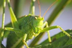 Stor grön Bush-syrsa för Head siktsmakronärbild, Tettigonia VI Arkivfoton