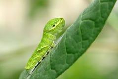 Stor grön caterpillar (den Papilio dehaaniien) på en leaf Royaltyfri Foto