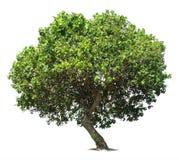 Stor grön ek Arkivbild