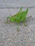 Stor grön gräshoppa på grå bakgrund royaltyfri fotografi