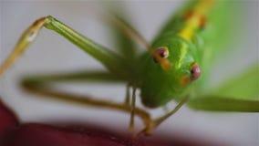 Stor grön gräshoppa på röda tjänstledigheter, främre makrosikt stock video