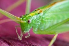 Stor grön gräshoppa på röda tjänstledigheter, makrofoto arkivfoto