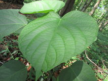 stor grön leaf Royaltyfri Bild