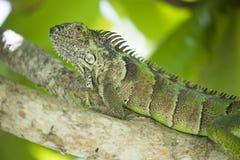 Stor grön leguan som vilar i grönt tropiskt träd arkivfoto