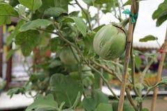Stor grön solanum, stor grön aubergine arkivbilder
