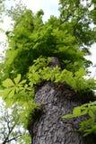 stor grön tree Arkivfoton