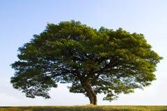 stor grön tree Arkivbilder