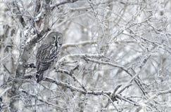 Stor grå färgOwl i vinter Arkivfoto