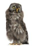 Stor grå Owl eller Lapland Owl, Strixnebulosa Arkivbilder