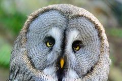 Stor Grey Owl närbild Royaltyfri Fotografi