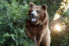 Stor grisslybjörn med inställningssolen och skurkrollen Foilage Arkivfoton