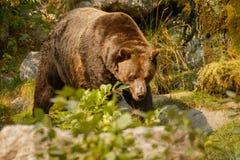 Stor grisslybjörn som söker för mat Fotografering för Bildbyråer