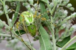 Stor grön lodjurspindel Royaltyfri Fotografi
