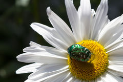Stor gräsplanskalbagge på en tusensköna Royaltyfri Fotografi