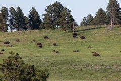 Stor grupp av bisonen på prärien royaltyfri bild