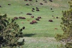 Stor grupp av bisonen på prärien arkivfoto