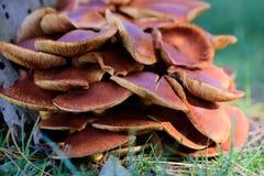 Stor grupp av bruna ostronchampinjoner Royaltyfri Foto