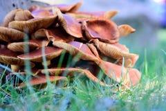 Stor grupp av bruna ostronchampinjoner Arkivfoton