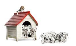 Stor grupp av Dalmatian valpar som spelar och äter runt om en hundkoja Arkivfoton