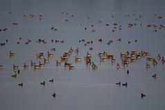 Stor grupp av grågåsgås och andra fåglar i sjön royaltyfria foton