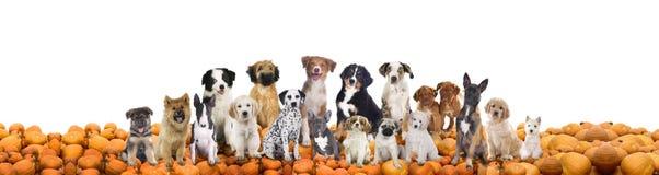 Stor grupp av hundkapplöpning som sitter på pumpor Royaltyfri Fotografi